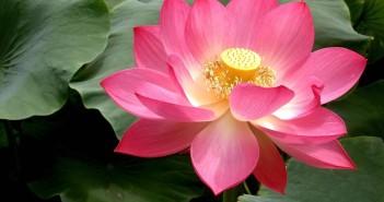 pink_lotus_1024x768