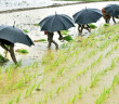 rainfall_iirgation